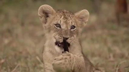 Grandes felinos 1- Masai Mara - DOCUMENTALES DE ANIMALES - ANIMALES SALVAJES - DOCUMENTAL DE ANIMALE